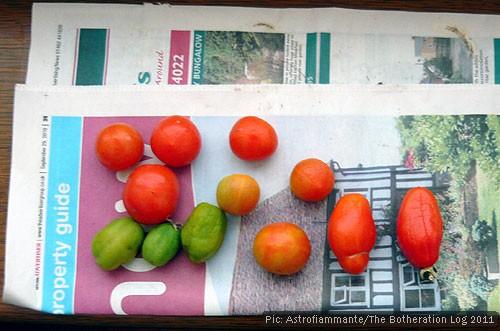 Tomatoes ripening on a windowsill