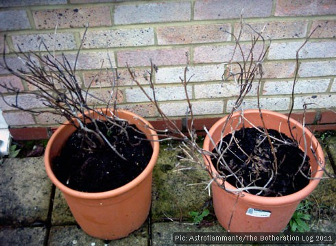Dead herbs in winter flowerpots