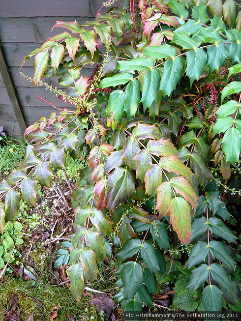 Mahonia japonica plant in winter