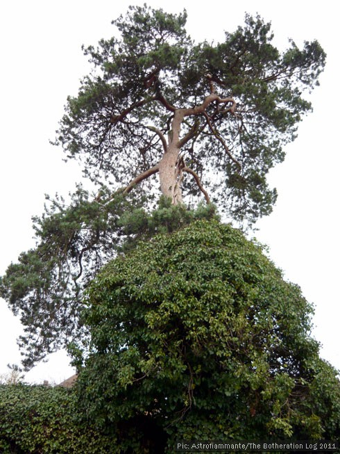 Evergreen tree supporting large ivy plant