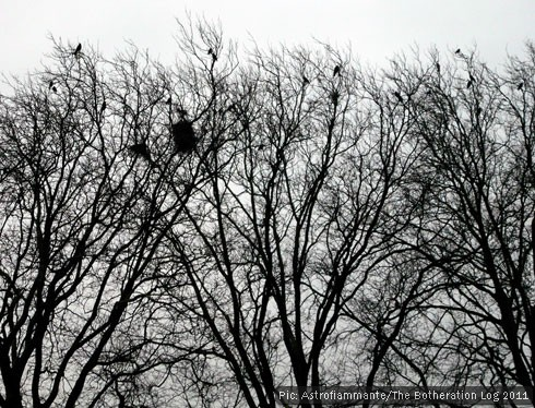 Rooks and their tree-top nests