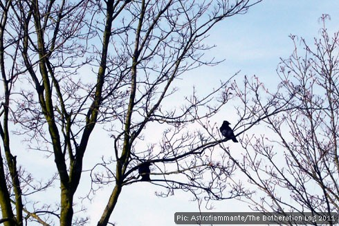 Members of the Corvidae bird family roosting in a tree