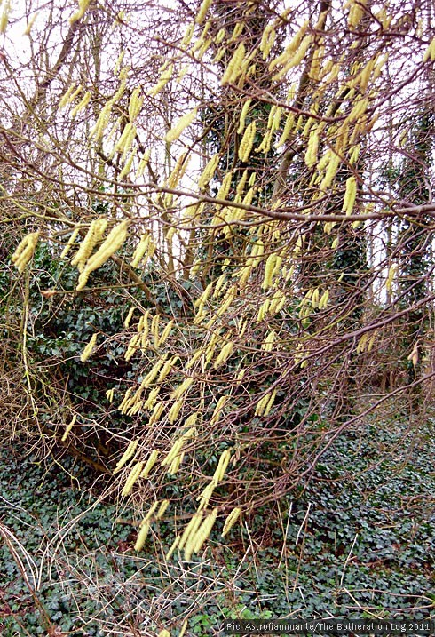 Tree bearing catkins
