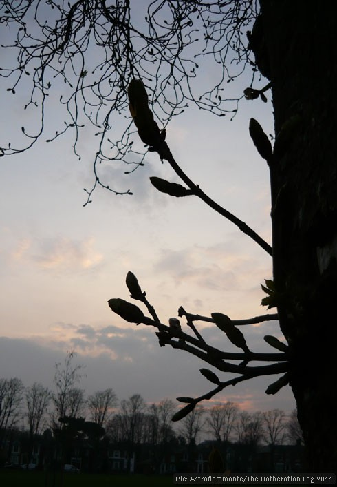 Budding horse chestnut tree pictured against evening sky