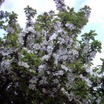 Blossom_01