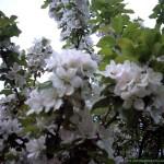Blossom_03