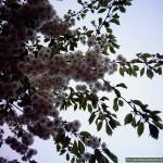 Blossom_09