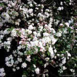 Blossom_10