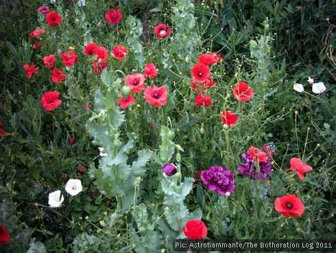 Poppies and Convolvulus growing on the margins of a car park