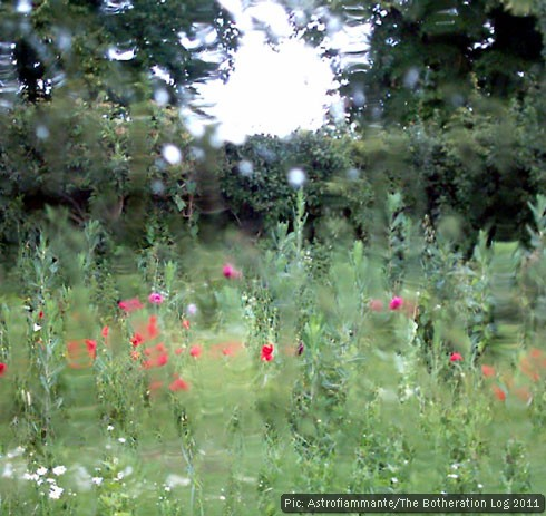 Poppies and other wild flowers in a verge, seen through a rainy window