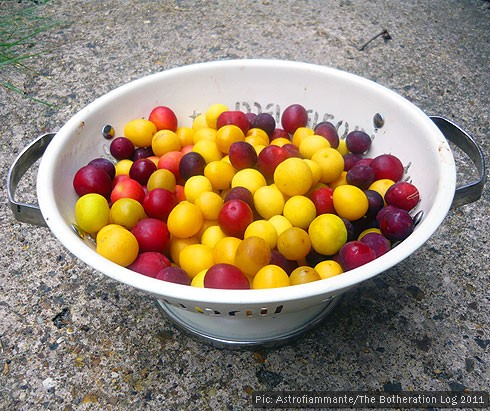 Plums and damsons in a colander