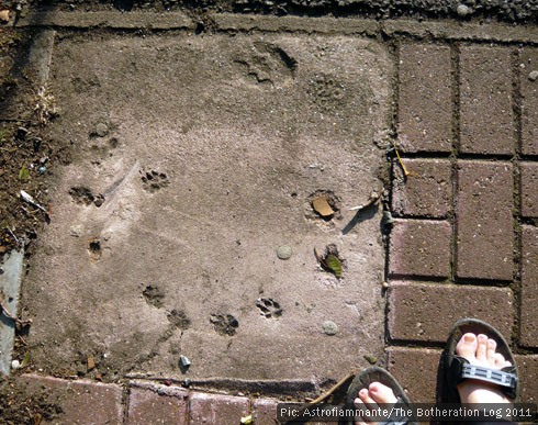 Animal footprints set in concrete next to a brick path