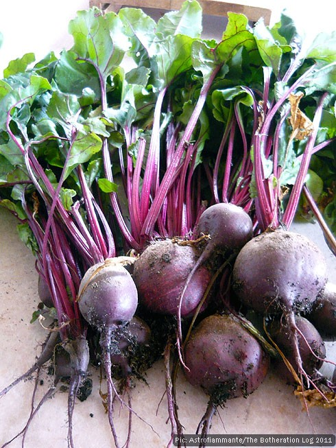 A bunch of fresh, allotment-grown beets