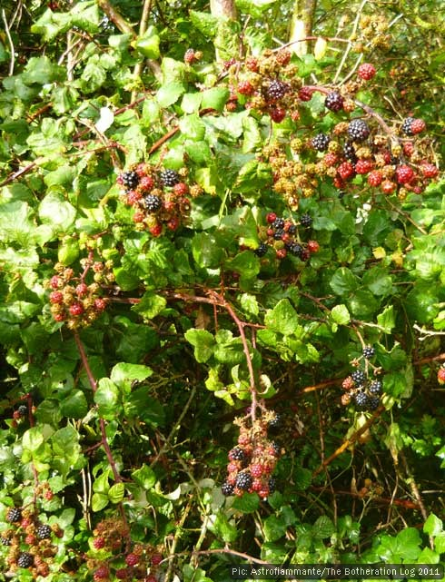 Ripe blackberries on the bush