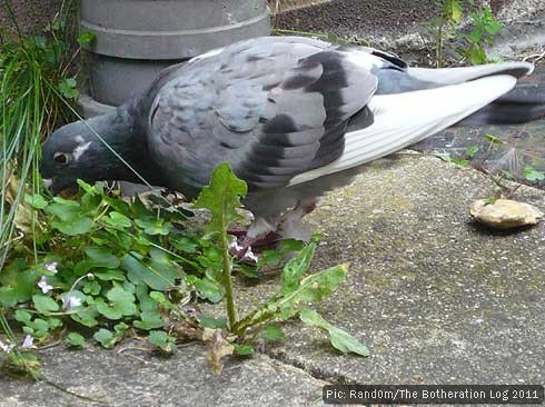 Homing pigeon pecking on ground for food