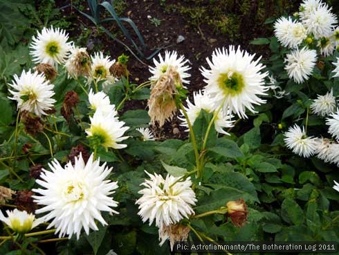 White dahlias growing on an allotment