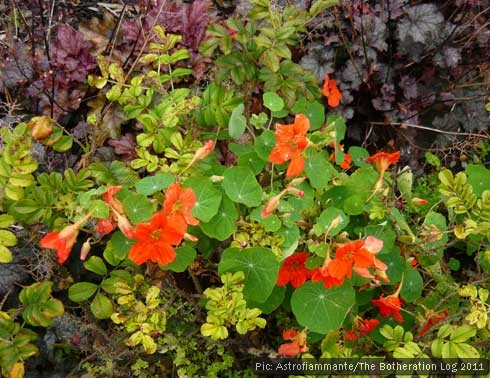 Nasturtiums growing through Rugosa roses.