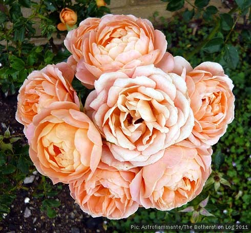 Cluster of tightly-furled rose blossoms on one stalk