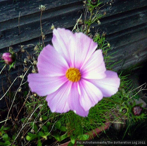 Pink wild flower blooming late in the year