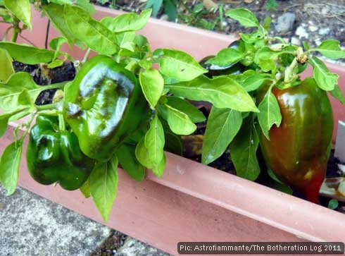 Home-grown peppers ripening on the plant