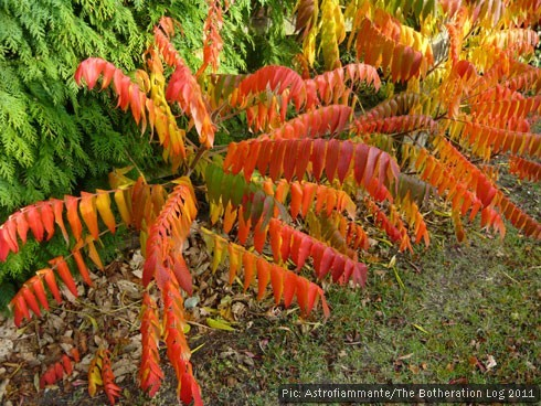 Red- and orange-leaved deciduous shrubs planted next to evergreens
