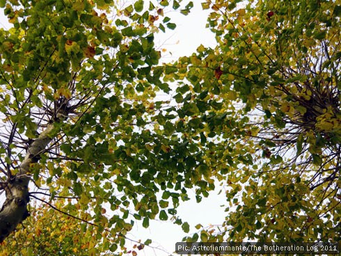 Leaves in the tree canopy turning yellow and brown before falling