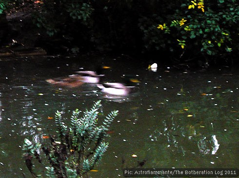 A still pond with three fast-moving ducks travelling through