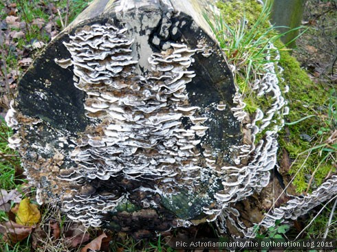 Bracket fungus sprouting on the end of a fallen log