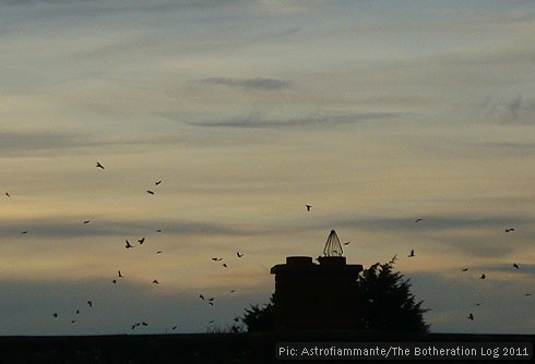 A clamour of rooks circling rooftops before roosting